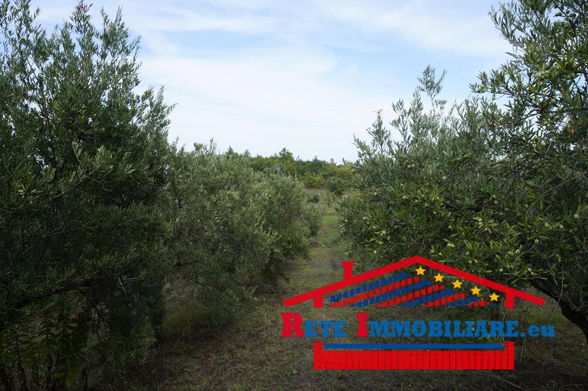 Piante Di Ulivo In Vendita : Vendesi terreno con piante di ulivo